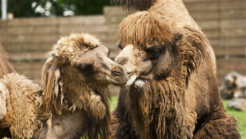 Mother Bactrian Camel Love to His Child Baby 4K Wallpaper