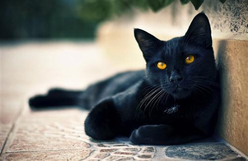 Black Cat with Yellow Eye Seating Silently and Looking HD Animal Wallpaper