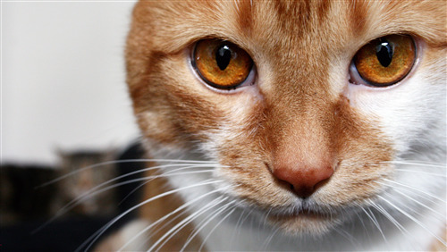 Cat Close Face Photo Download
