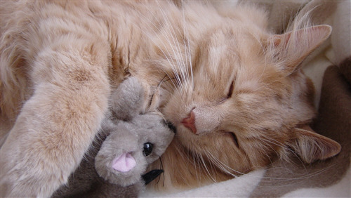 Cat Sleeping with Teddy Bear