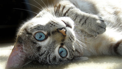 Cat of Sky Color Eye Amazing Wallpaper