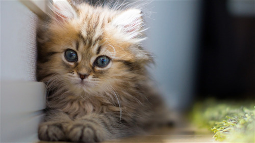 Download Pic of Lovely Little Cat
