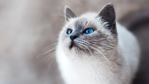 Superb Blue Eye of White Kitten