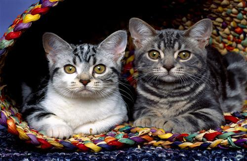 Two Beautiful Cat Wallpapers