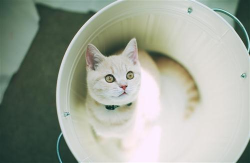 White Cat in Bucket
