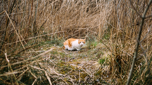 White and Ginger Cat on Dry Grass