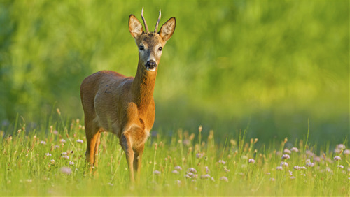 Animal Deer 4K Wallpaper Free Download