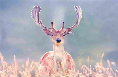 Antlers Deer in Grass | HD Wallpapers