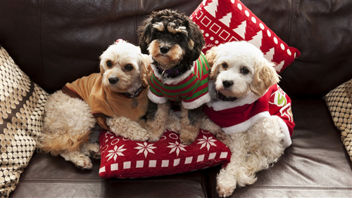 3 Cutest Poodle Dog Puppy