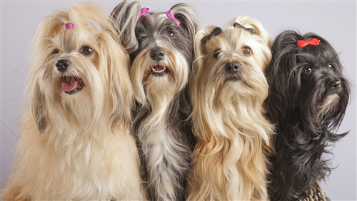 4 Pretty Yorkshire Terrier Dog