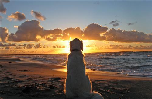 Beautiful Dog Looking Sunset at Beach