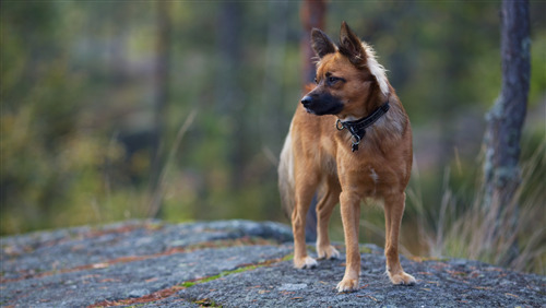 Chihuahua Dog Pic Download