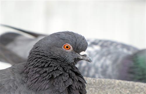Beautiful Indian Gray Dove Face Closeup Images