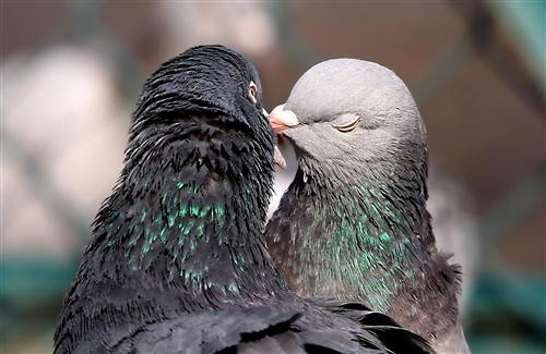 Bird Dove Kissing HD Wallpapers