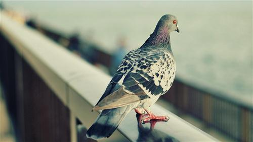 Bird Pigeon Wallpaper