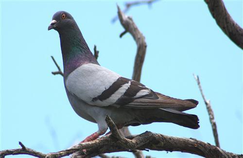 HD Photo Of Pigeon