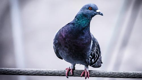 Macro Photography Of Dove Bird 4K Wallpaper