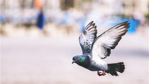 Pigeon Flying Wonderful Wallpaper