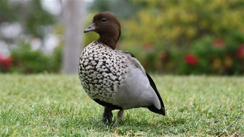 Beautiful Duck in Garden