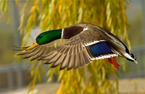 Bird Mallard Flying Low Wallpaper Download