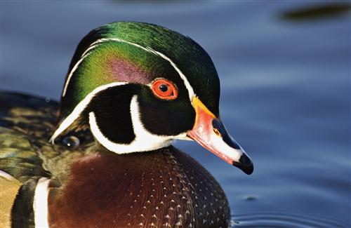 Colorful Duck Photo Background