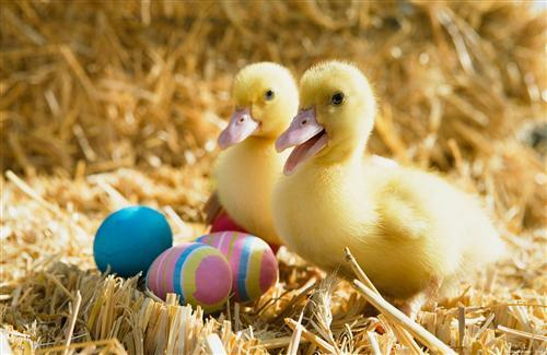 Duck Babies Pair with Colorful Ege
