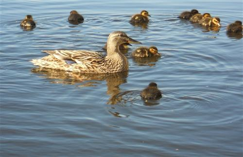 Duck Swimming with Babies Duck in Water