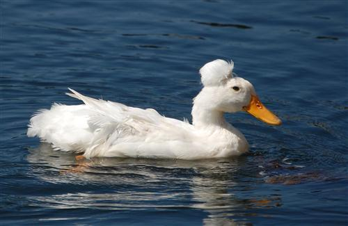 Nice Duck Swim in Watet Bird HD Wallpaper
