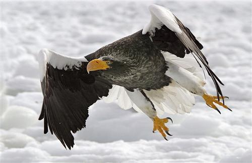 Bald Eagle Flying over the Snow