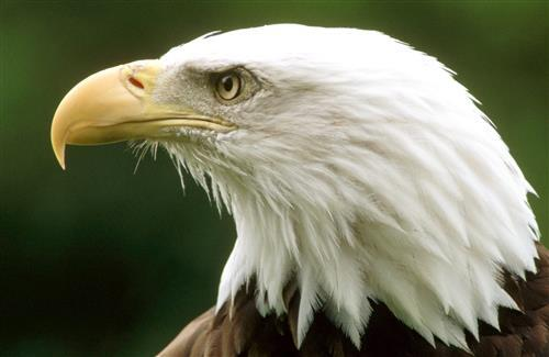 Beautiful Killing Bird Eagle Eye CloseUp Wallpaper