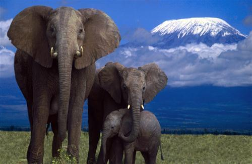 African Elephant In Jungle Hd Wallpapers