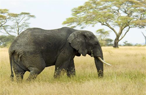 Animal Black Elephant in Grass Pics