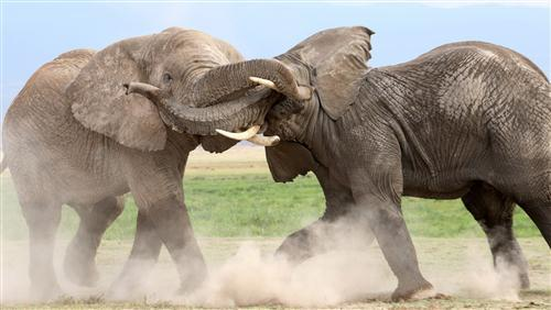 Animal Elephants Fighting