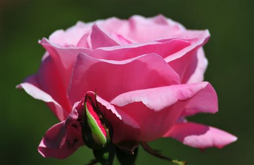 Beautiful Nice HD Pink Rose Wallpapers Download