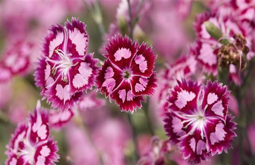 Beautiful Pink Flowers Desktop Wallpapers