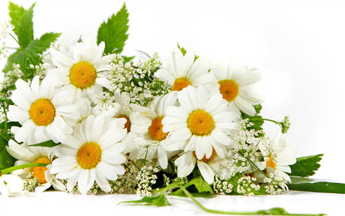 Beautiful White Flowers HD Wallpapers