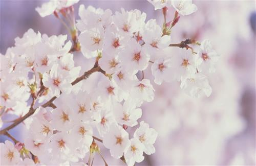 Cherry Blossoms White Wallpapers