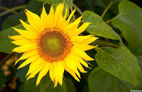 Yellow Sunflower Wallpapers Download