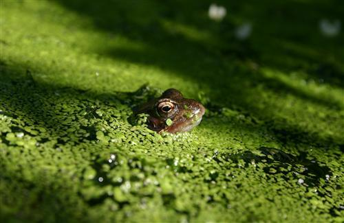 Animal Frog Keeping Head above Water