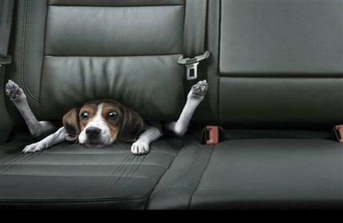Funny Image of Dog in Car HD Wallpapers