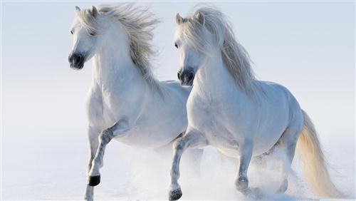 2 White Horse Running Wallpaper