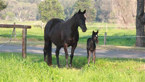 Black Horse with Her Cute Child