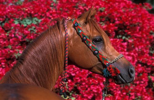 Brown Horse and Red Flower