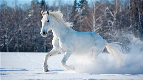 White Horse Running in Snow 5K Wallpaper