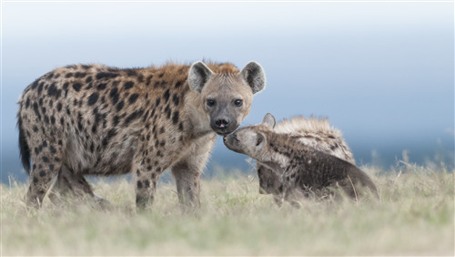 Baby Hyena Love His Mother Amazing Pic Download