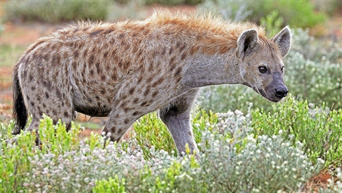 Hyena Wallpaper Download