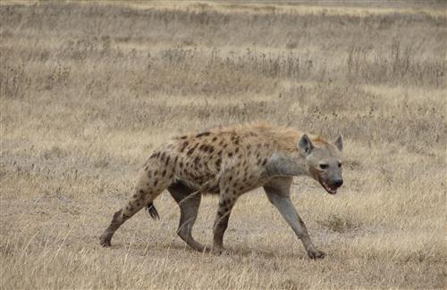 Photo of Wild Animal Hyena in Jungle For Hunting