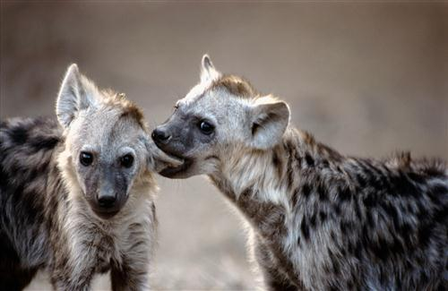 Two Wild Animal Hyena Wallpapers