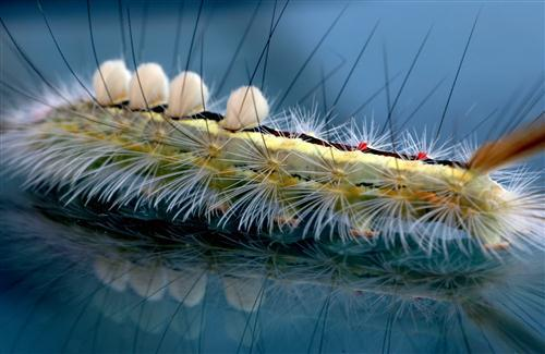 Caterpillar Insect