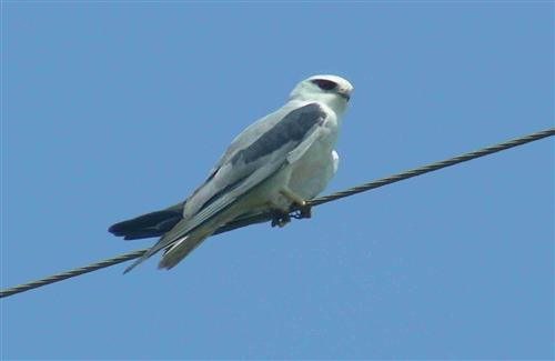 Black Winged Kite Sitting on Wire
